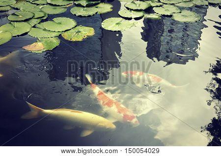 red carp - koi fishes in Japanese pond in Zen Garden with skyscraper's reflection in famous Tokyo Korakuen park