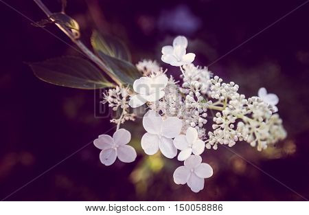 White blossoms on a inflorescence of Hydrangea bretschneideri