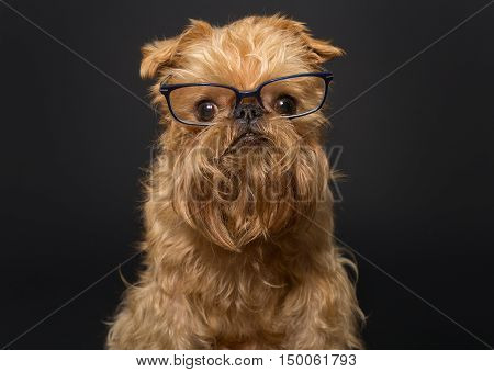 Dog portrait with glasses breed Brussels Griffon on a black background