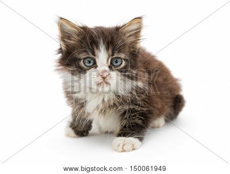 Little fluffy kitten with big blue eyes isolated on white background