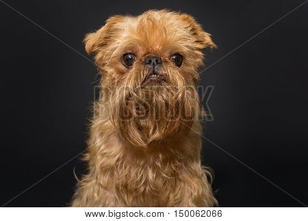 Dog portrait breed Brussels Griffon on a black background