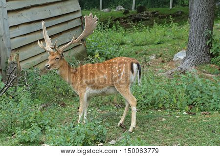 Fallow deer during the rutting season in Italy