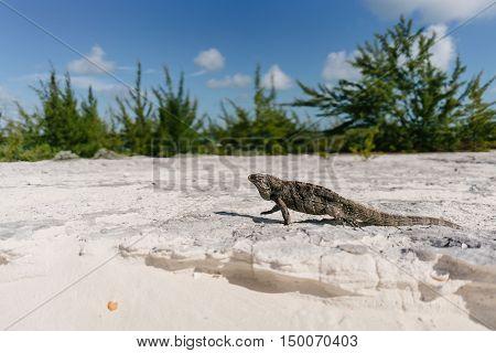 Marine iguana on the beach of Cayo Largo in Cuba