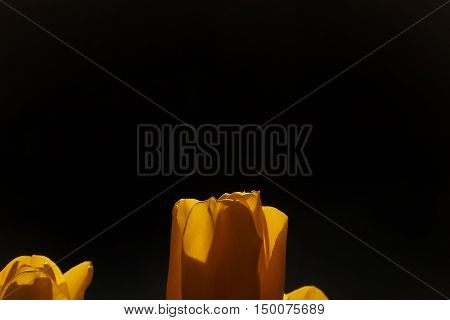 spring tulip in beautiful bouquet flowers nature