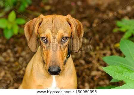 Dog curious is a beautiful hound dog looking up with an intense stare outdoors in nature