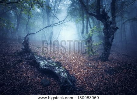Mystical Autumn Forest In Fog In The Morning. Old Trees