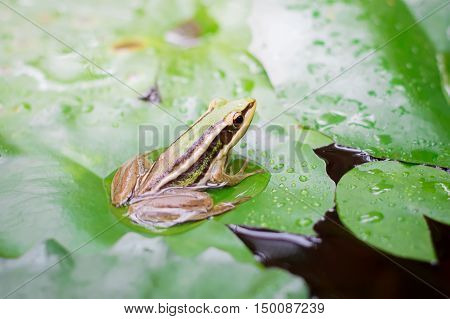 Green frog (green paddy frog) sitting on lotut leaf in a pond