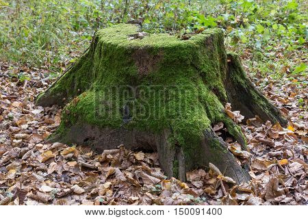 Old large rotten tree stump covered with moss in the autumn forest