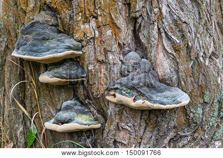 Tree fungus on the old tree bark