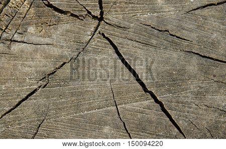 Texture of old splintered wood cut. closeup.