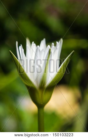 white waterlily or lotus flower blooming on pond