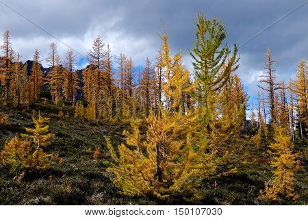 Golden larches in mountains. Frosty Mountain. Manning Provincial Park. Hope. British Columbia. Canada.