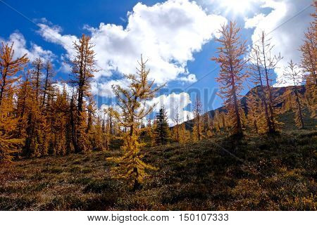 Golden larches under blue sky. Frosty Mountain. Manning Provincial Park. Hope. British Columbia. Canada.