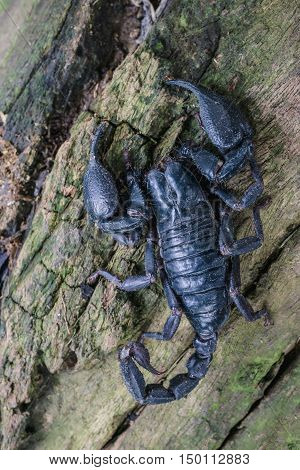 Closeup view of a scorpion in nature. top view