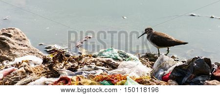 Indian Long-billed Dowitcher, wading in water surrounded by human garbage waste. These birds are struggling to survive due to result of pollution in their feeding ground.