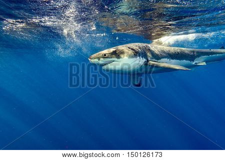 Great White Shark Ready To Attack Close Up