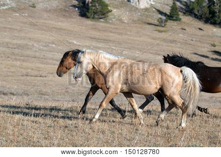 Wild Horse Palomino and Bay studs walking together on Sykes Ridge in the Pryor Mountain Wild Horse Range in Montana - Wyoming US