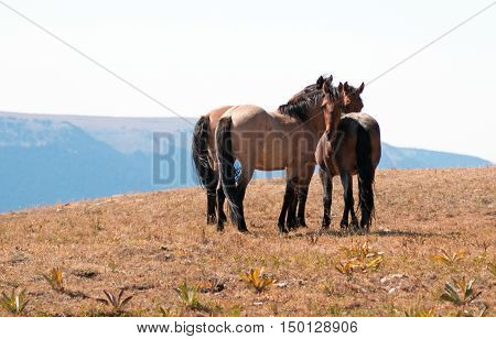 Wild Horse Herd on Sykes Ridge in the Pryor Mountain Wild Horse Range in Montana - Wyoming US of A