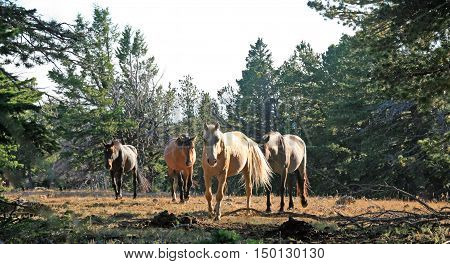 Wild Horse Herd walking together on Tillett Ridge in the Pryor Mountain Wild Horse Range in Montana USA
