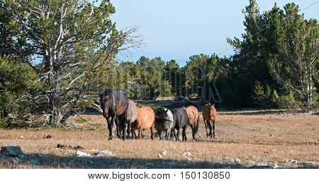 Wild Horse Herd walking together on Tillett Ridge in the Pryor Mountain Wild Horse Range in Montana - Wyoming US of A