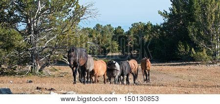 Wild Horse Herd walking together on Tillett Ridge in the Pryor Mountain Wild Horse Range in Montana - Wyoming US