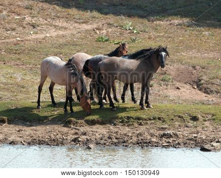Wild Horse Herd at watering hole in the Pryor Mountain Wild Horse Range in Montana - Wyoming USA