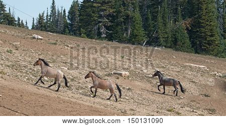 Wild Horse Herd running uphill in the Pryor Mountain Wild Horse Range in Montana - Wyoming United States