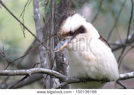 Kookaburra sits in the old gum tree -Australian bird