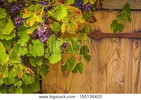 Grapes on their vines - Beautiful autumnal frame close up with a bunch of red grapes on their vines grown around an old house trap door.