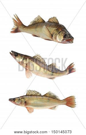Large Pike Perch