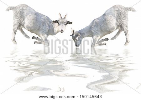 two goat drinks water isolated on a white background