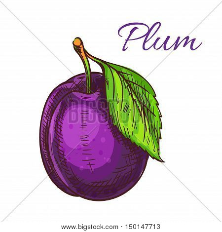 Plum fruit with green leaf isolated colored sketch. Ripe purple garden plum for organic farming, juice packaging or jam recipe design