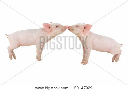kiss a two pigs on a white background