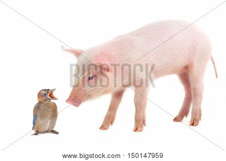baby bird and pig on a white background. studio