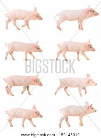 going pig on a white background. studio