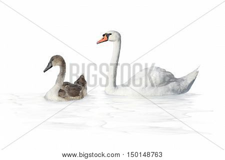 Big swan and young swan on a white background