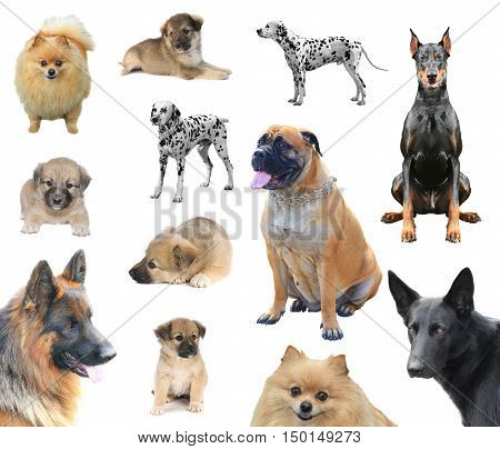 thoroughbred a dogs on a white background