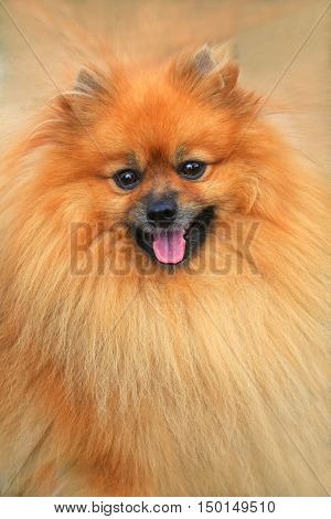 The pomeranian dog on a brown background