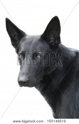 The solated portrait of a German shepherd