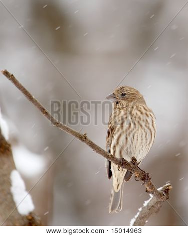 House Finch, Carpodacus Mexicanus