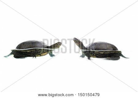 two turtle of the swamp swims in water