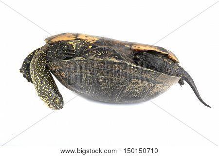 European pond turtle isolated on white, studio shot