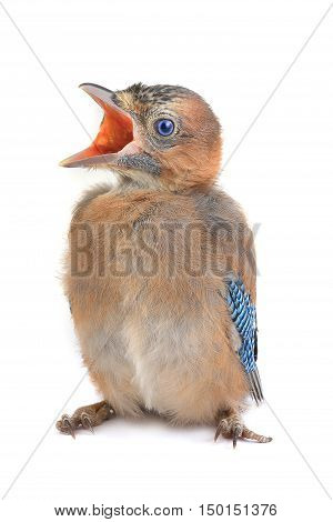 baby bird of a jay with an open mouth