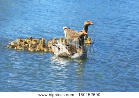 Geese with babies float down the river