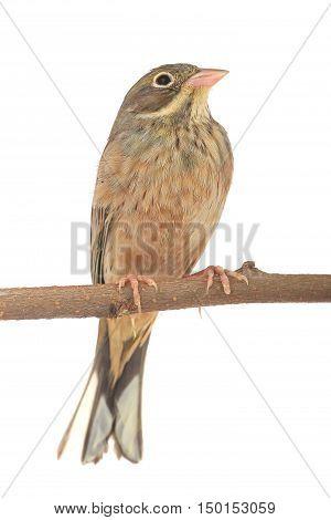 Reed Bunting in winter plumage (Emberiza schoeniclus)