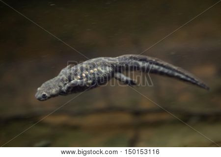 Spanish ribbed newt (Pleurodeles waltl), also known as the Iberian ribbed newt. Wildlife animal.