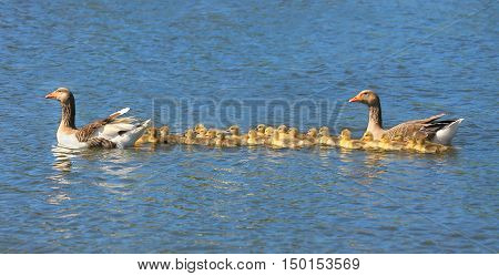 Geese with babies on the blue river