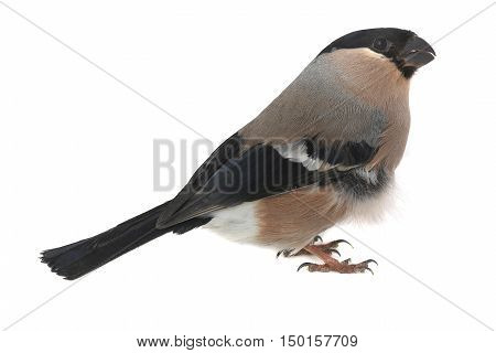 the famale bullfinch on a white background
