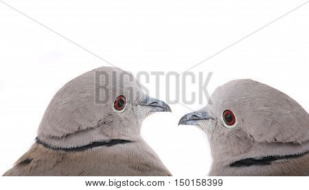 portrait two eurasian collared doves on a white background