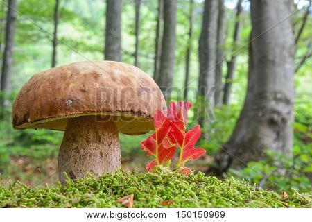 A fine example of young fully developed Summer Bolete or Boletus reticulatus in natural habitat beech forest in a moss next to some red leaves